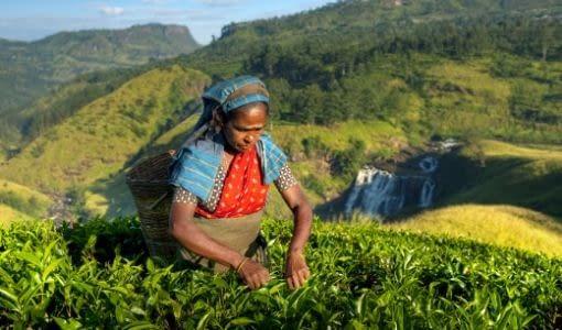 Teplantege i Darjeeling