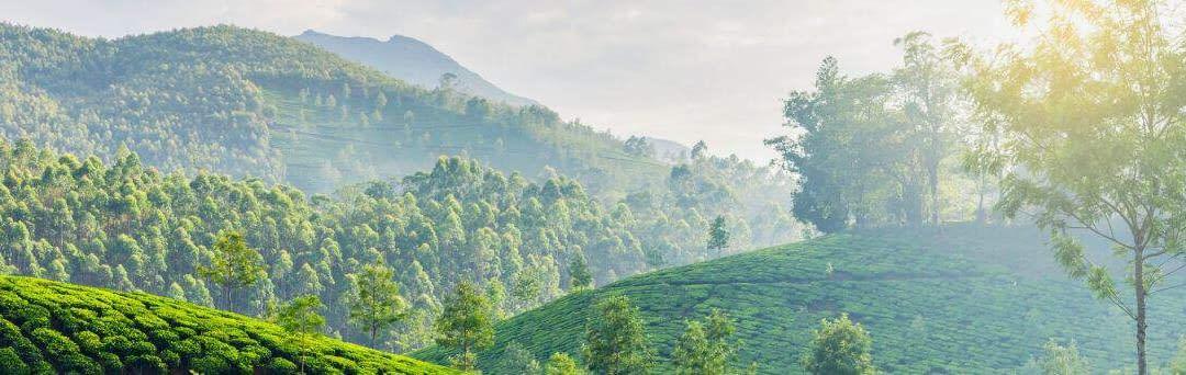 Den spændende historie om te fra Indien