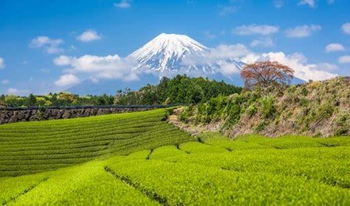 teplantager i fuji japan Asamushi sencha, Fukamushi sencha, grøn te, Ibancha, japan, japansk te, Nibancha, Sencha, sencha te
