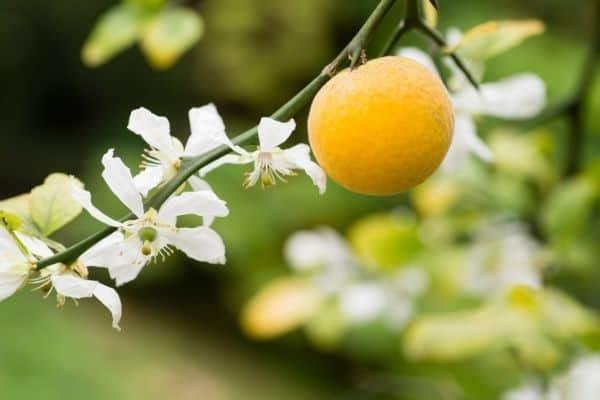bergamotappelsiner Dogadan, earl grey, historie, hvad er, hvordan fremstilles, Oralet, Rize te, te, turkisk te, tyrkiet, urtete