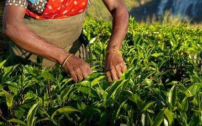 Darjeeling te – Alt om den betagende champagne te fra Darjeeling