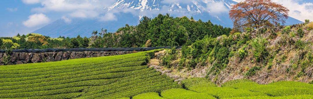 Alt om den japanske te og dens rejse fra dyrkning til teceremoni