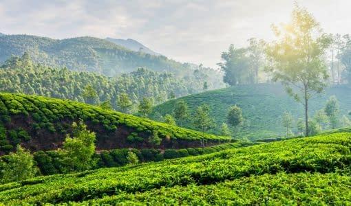 tea plantations in munnar kerala india